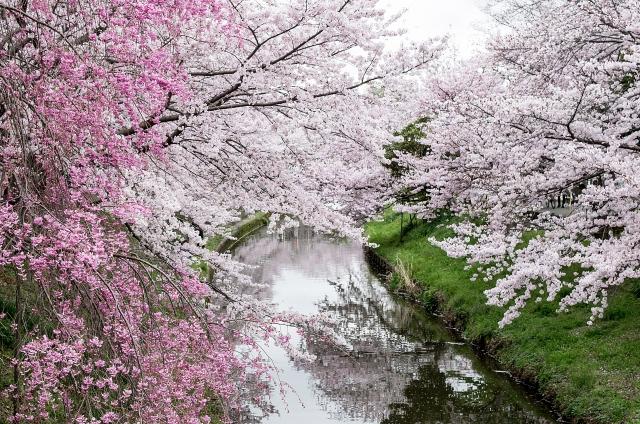 奈良佐保川の桜