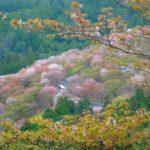 吉野の中千本の桜