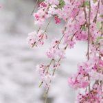 奈良佐保川の枝垂れ桜