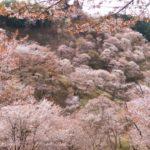 吉野の桜下千本