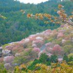吉野の桜の上千本