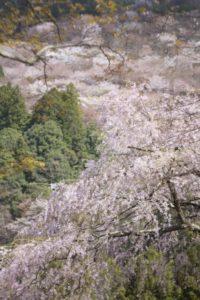 吉野の桜の中千本