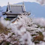 奈良郡山城跡と桜