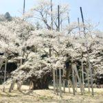 岐阜根尾谷の淡墨桜
