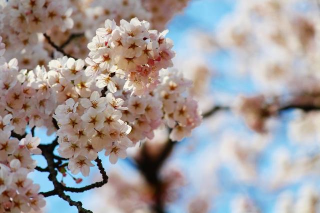 弘前桜祭りの桜の花びら