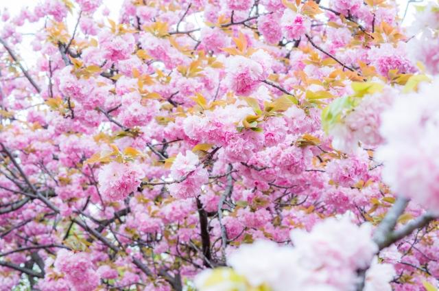 造幣局の桜の通り抜けの桜