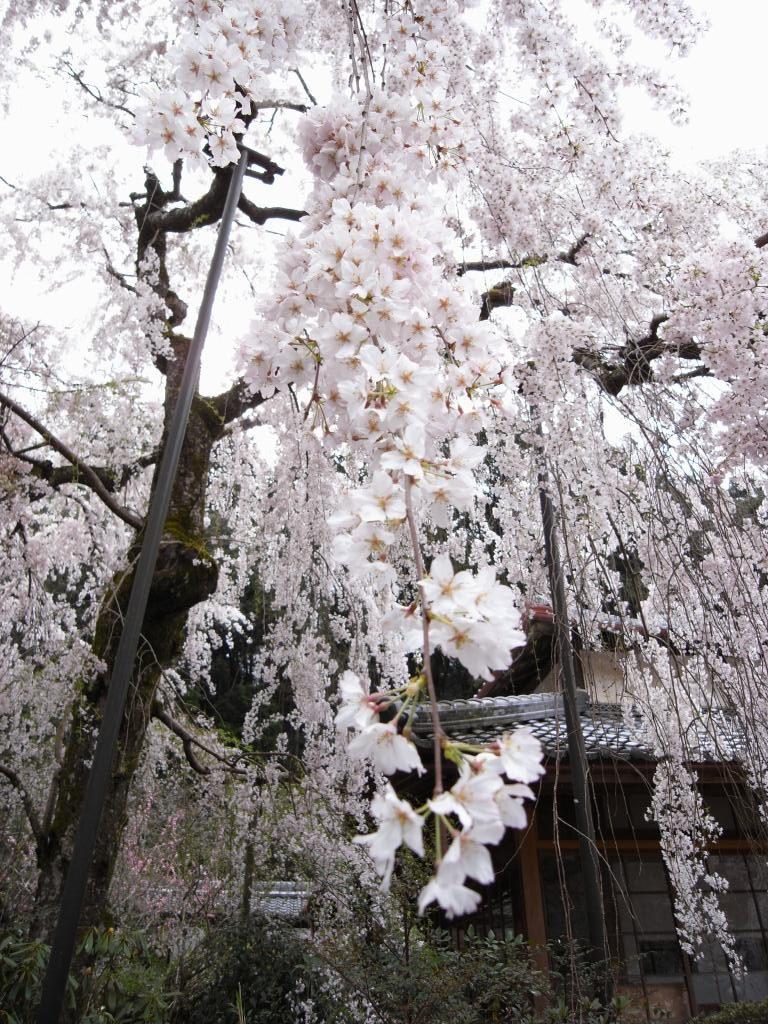 奈良県大野寺の小糸しだれ桜