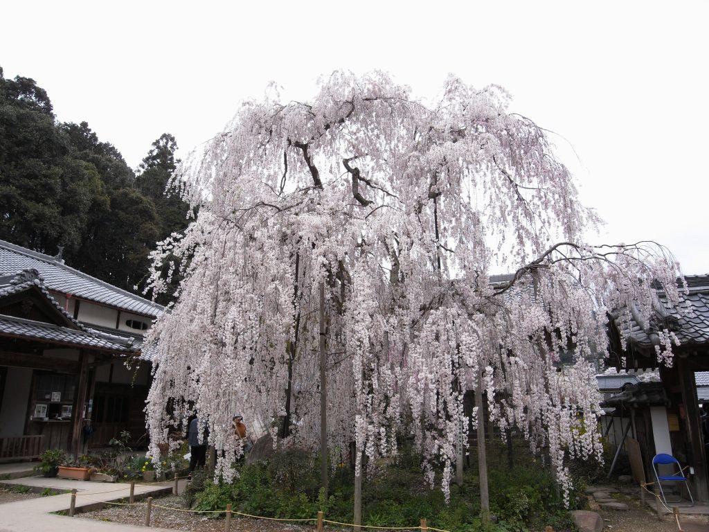 奈良県大野寺のしだれ桜