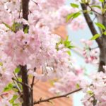 造幣局 桜の通り抜けの桜