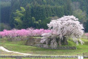 又兵衛桜と桃の木