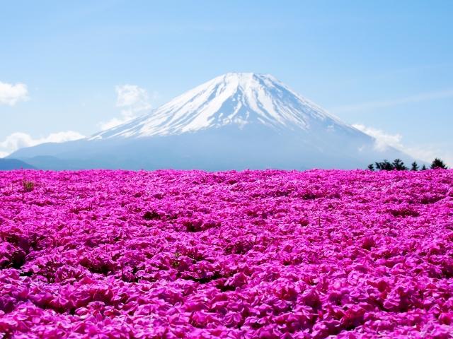 富士の芝桜