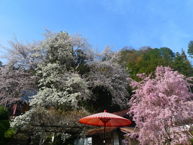 宇陀市佛隆寺に咲く桜色々
