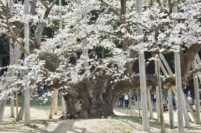 岐阜淡墨桜