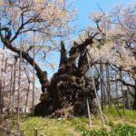 山梨神代桜