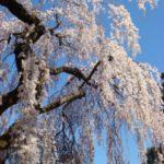 奈良の桜シダレザクラ