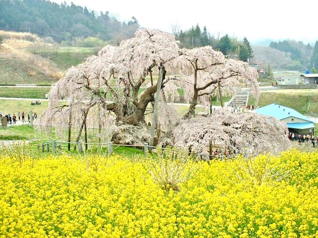 福井三春滝桜