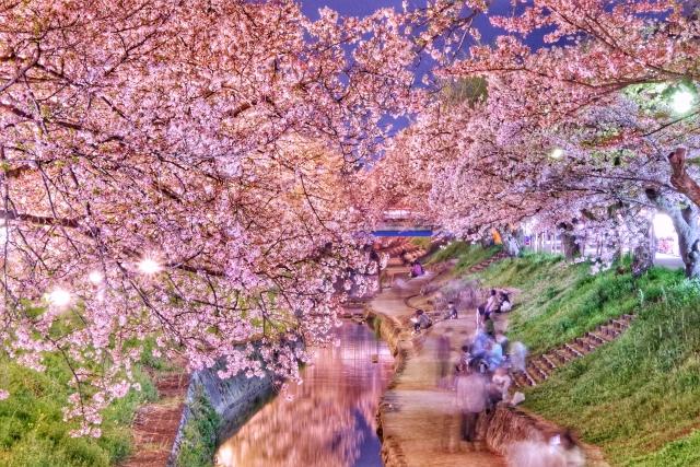 奈良県大和高田の千本桜の桜並木