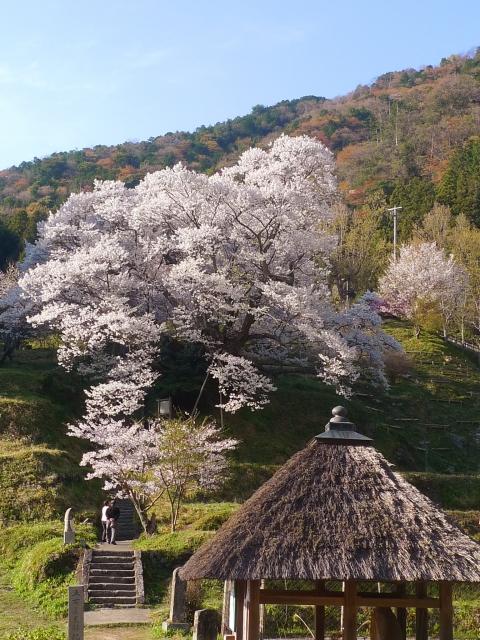 宇陀市佛隆寺の桜