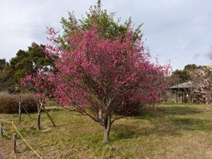 深北緑地公園内の梅