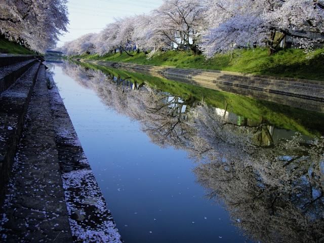 各務原桜祭り新境川堤の桜並木その2