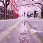 ピンク色に染まる奈良県大和高田の桜並木