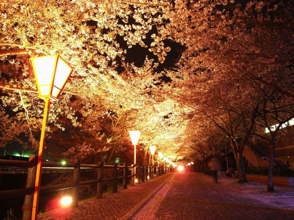 奈良県大和高田の桜並木のライトアップ
