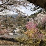 奈良長谷寺の桜