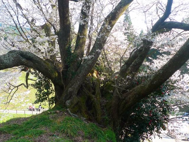 宇陀市佛隆寺の千年桜の根の部分
