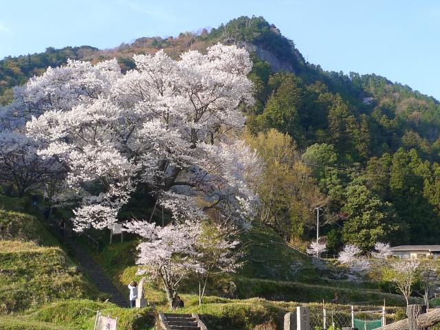 宇陀市佛隆寺の大きな千年桜