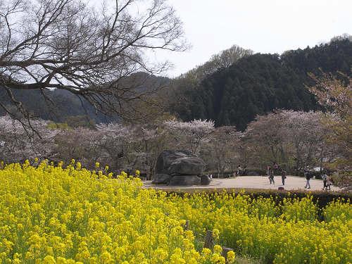 石舞台古墳と桜と菜の花