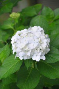 紫陽花白い花アナベル