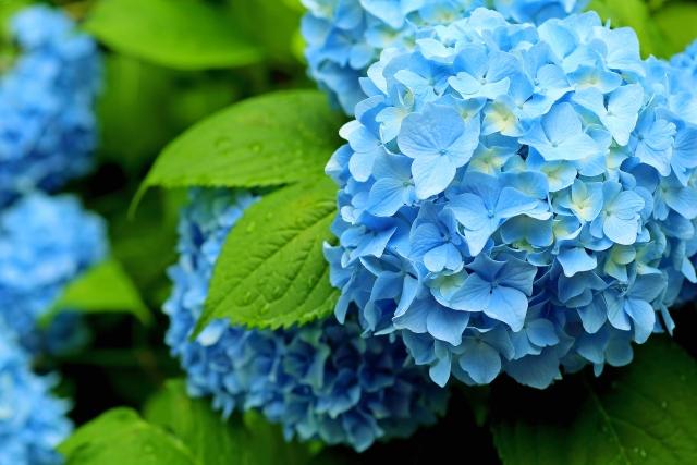 あじさいの花の見頃