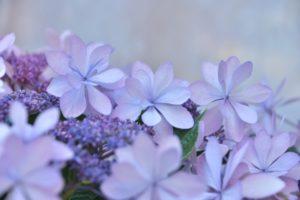 紫陽花紫の花