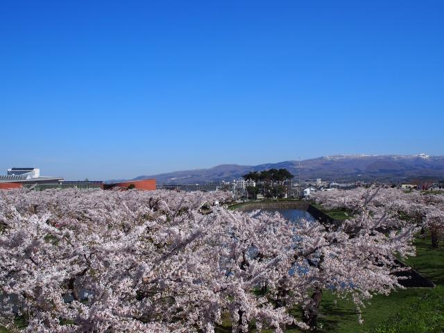 五稜郭公園土手からの桜