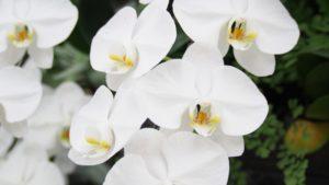 父の日のプレゼントの胡蝶蘭の花