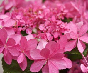 紫陽花ピンクの花ダンスパーティー
