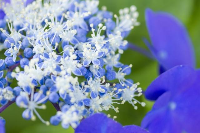 紫陽花色のきれいな花