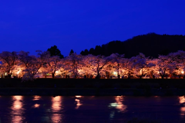 角館桧木内川堤のライトアップされた桜