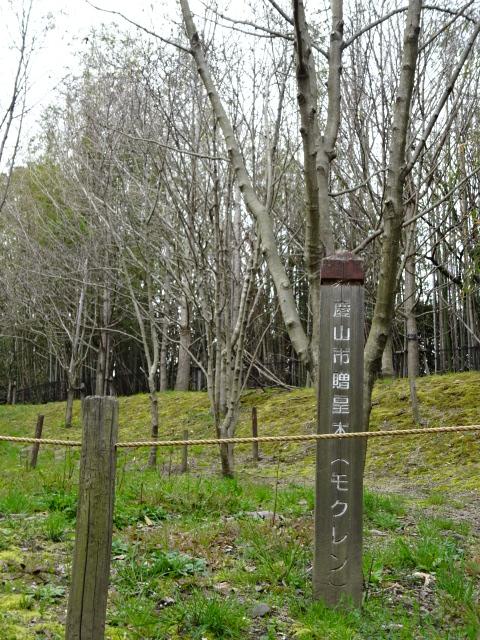 鴻ノ巣山運動公園に植えてあるモクレン