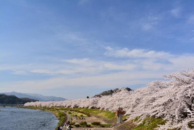 角館桧木内川堤の桜