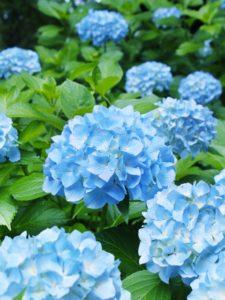 紫陽花青い花