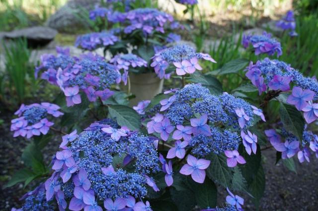 額紫陽花ブルー