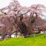 三春滝桜の風景