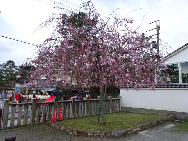 氷室神社の駐車場横の桜