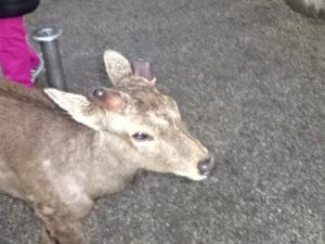 氷室神社に入ってすぐのところにいた鹿