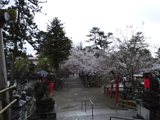 氷室神社のソメイヨシノ