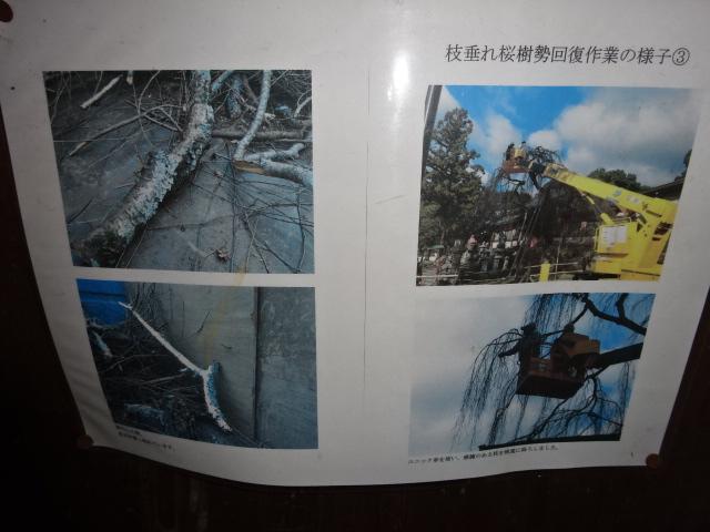 氷室神社のシダレザクラの様子写真