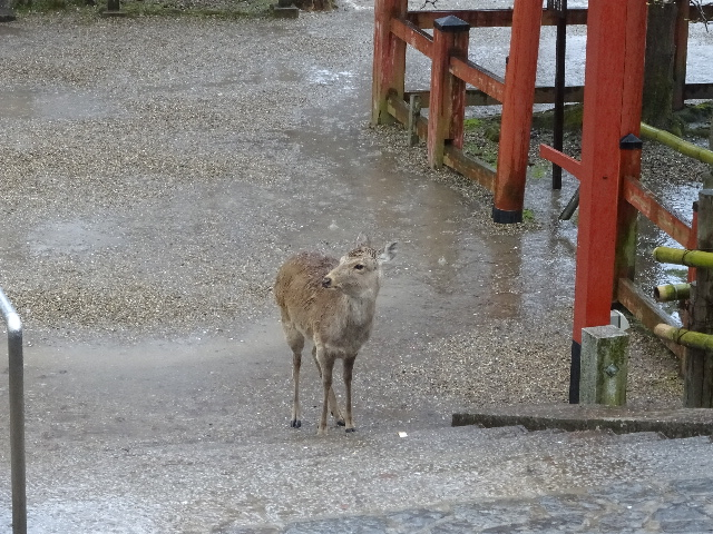 氷室神社雨の中佇む鹿