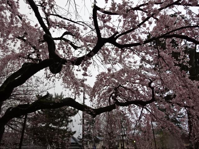 氷室神社雨の中の桜