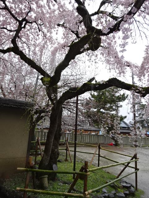 氷室神社飴の中のソメイヨシノ